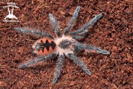 Pamphobeteus sp. Mascara 4cm
