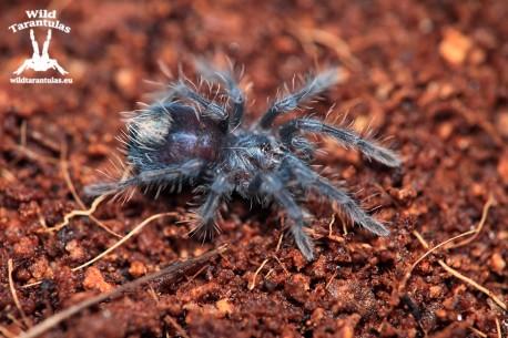 Phormictopus atrichomatus 2.5cm