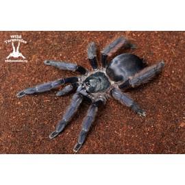 10x Tapinauchenius violaceus 1.5cm