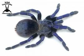 Pterinopelma sazimai 6.5cm Female