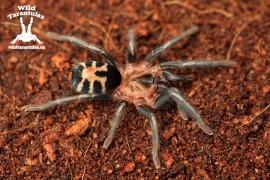 Cyriocosmus leetzi 3.5cm Female