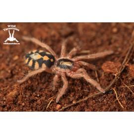 Hapalopus sp. Colombia Big 4cm