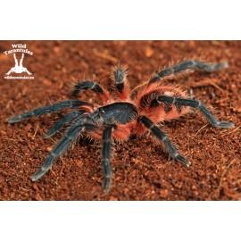 Theraphosinae sp. Panama 6cm Female