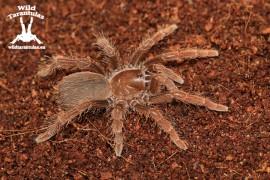 Pelinobius muticus 4cm