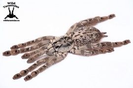 Heteroscodra maculata 8cm FEMALE