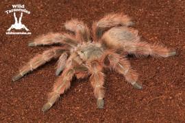 Nhandu tripepii 8cm Female