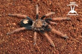 Cyriocosmus giganteus 5cm FEMALE