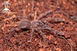 Thrigmopoeus truculentus 2cm