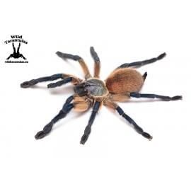 Monocentropus balfouri 3.5cm