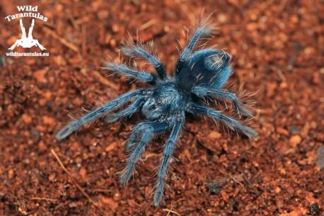 Phormictopus sp. Dominican Purple (ex. cautus) 2cm