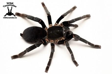 Hysterocrates gigas 7.5cm Female