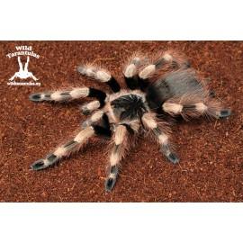 Nhandu coloratovillosus 8cm Female