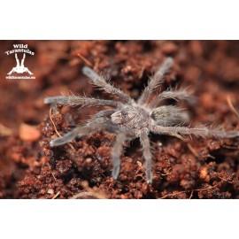 Augacephalus ezendami 2cm