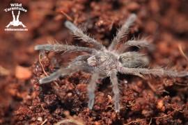 Augacephalus ezendami 1.5cm