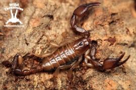 Euscorpius carpathicus Adult Female